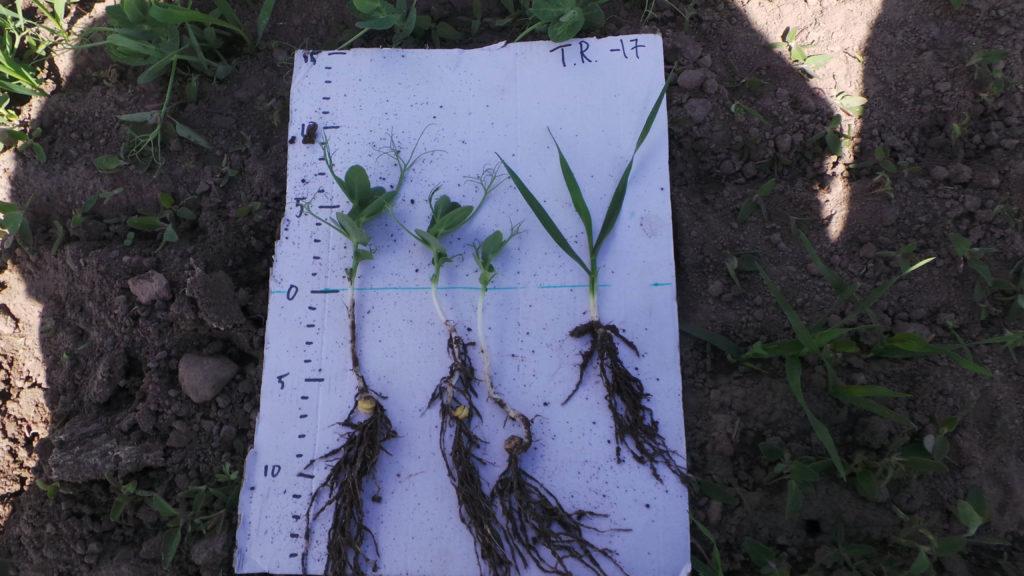 Herne on vahvistanut juursistooan, ja kasvattanut 3 kasvulehteä. Tukikaura kasvi on 3 lehtiasteella Zadoks 13