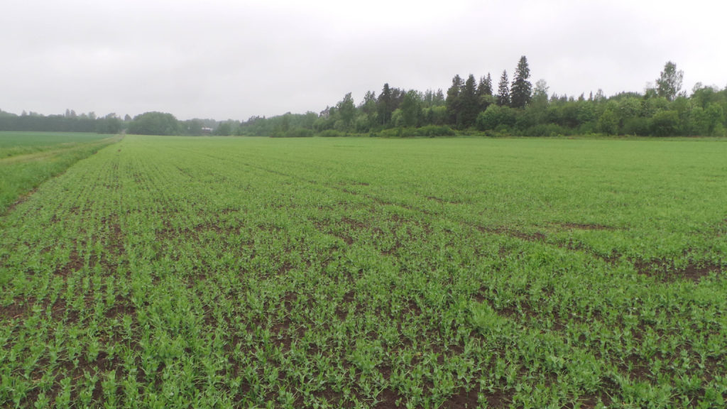Kasvustossa ei vielä ole umpeen kasvanut, joten tilaa on vielä rikkakasveilla taimettua.