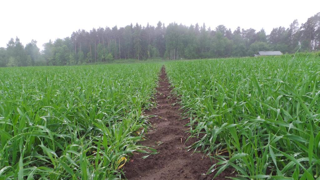 Kasvusto on kasvanut umpeen, sekä ruiskutusurat ovat pysyneet puhtaana rikkakasveista.