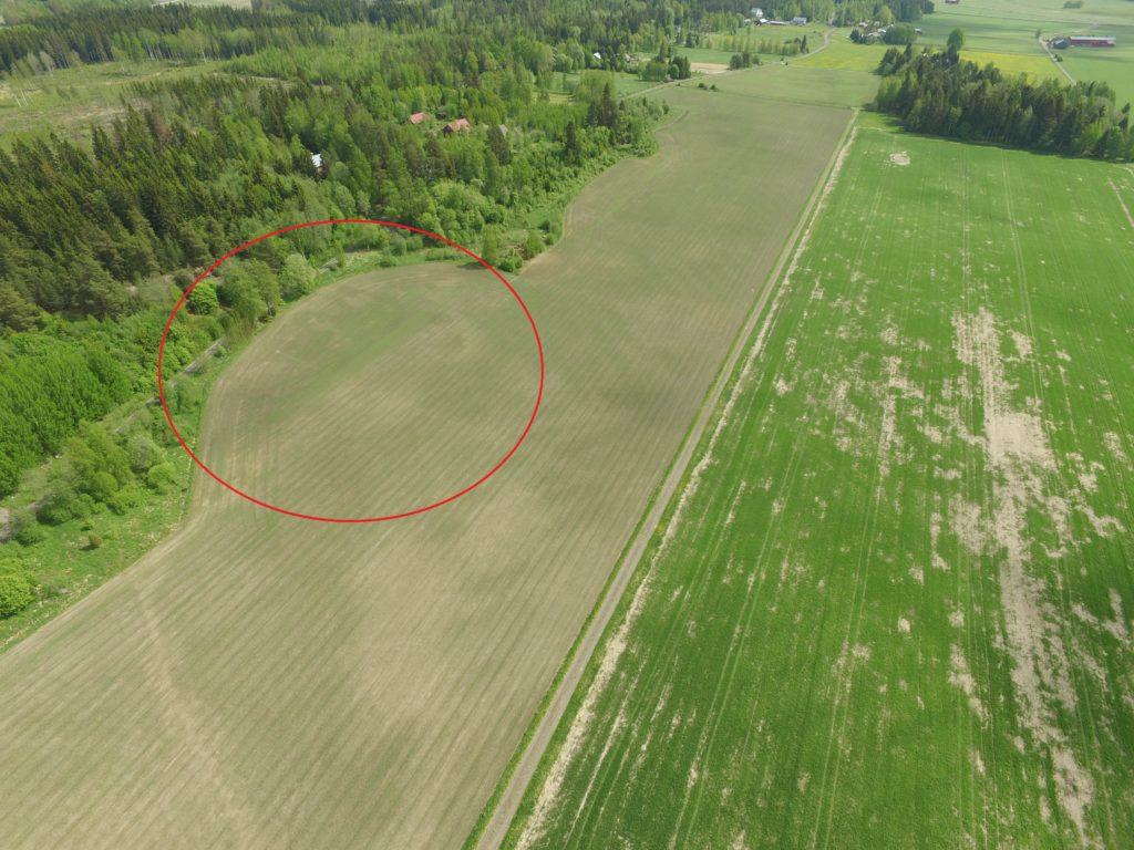 Kasvusto ei juuri ilmasta vielä viherrä, vaikka maantasosta näyttäisikin siltä. Punaisen ympyrän alueella oleva vihreä paljastui jauhosavikaksi.